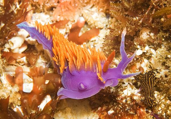 Nudibranchs 2