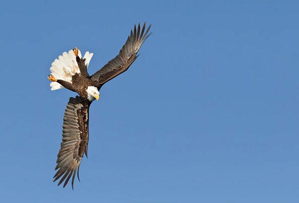 Орел лупинги - 3