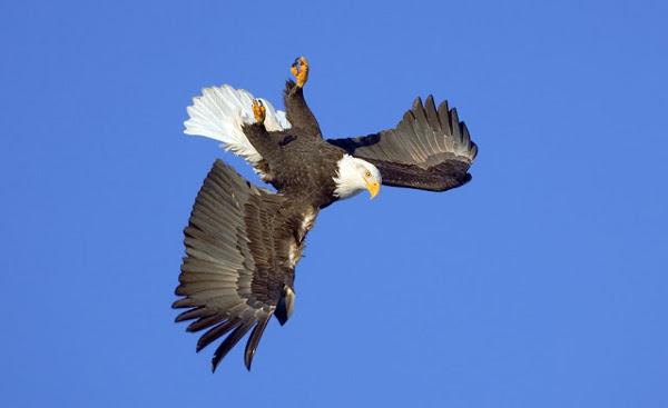 Орел лупинги - 4