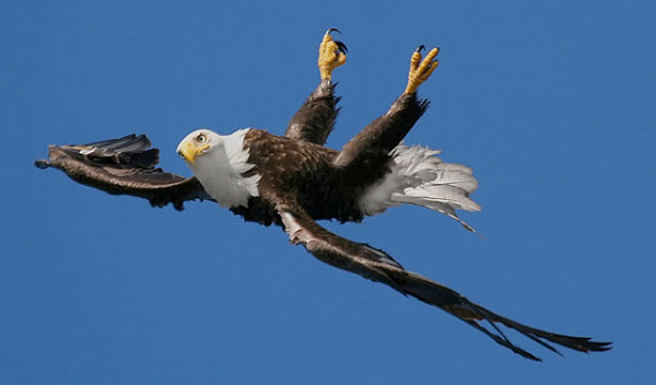 Орел лупинги