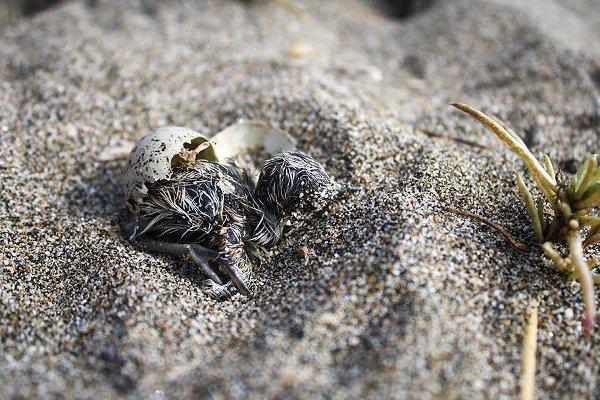 При излюпването, родителите помагат на малките, като отстраняват черупките далеч от тях.