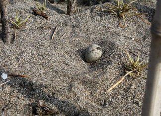 Морският дъждосвирец снася яйцата си без гнездо, близо до хората и директно върху пясъка.