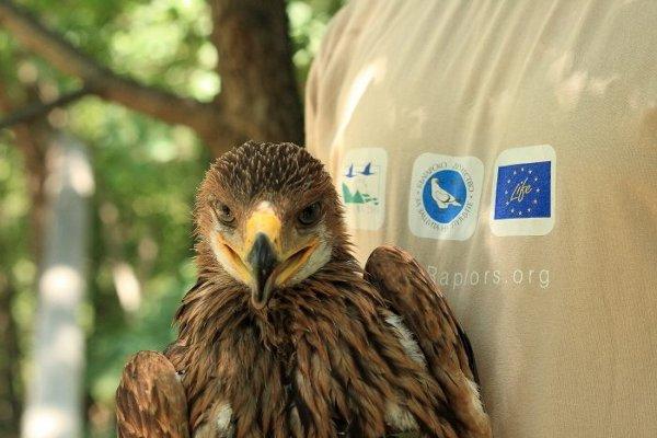 Спаси царския орел в България – акция на БДЗП и СТЕНАТА