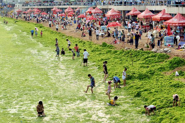 Плажът на зелените водорасли в Китай