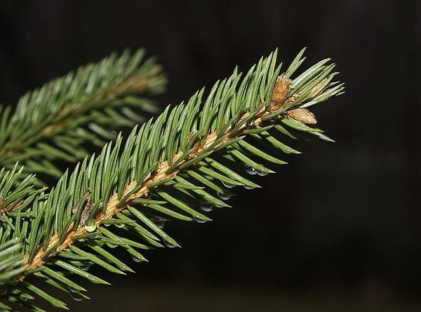 800px-Pinetrees