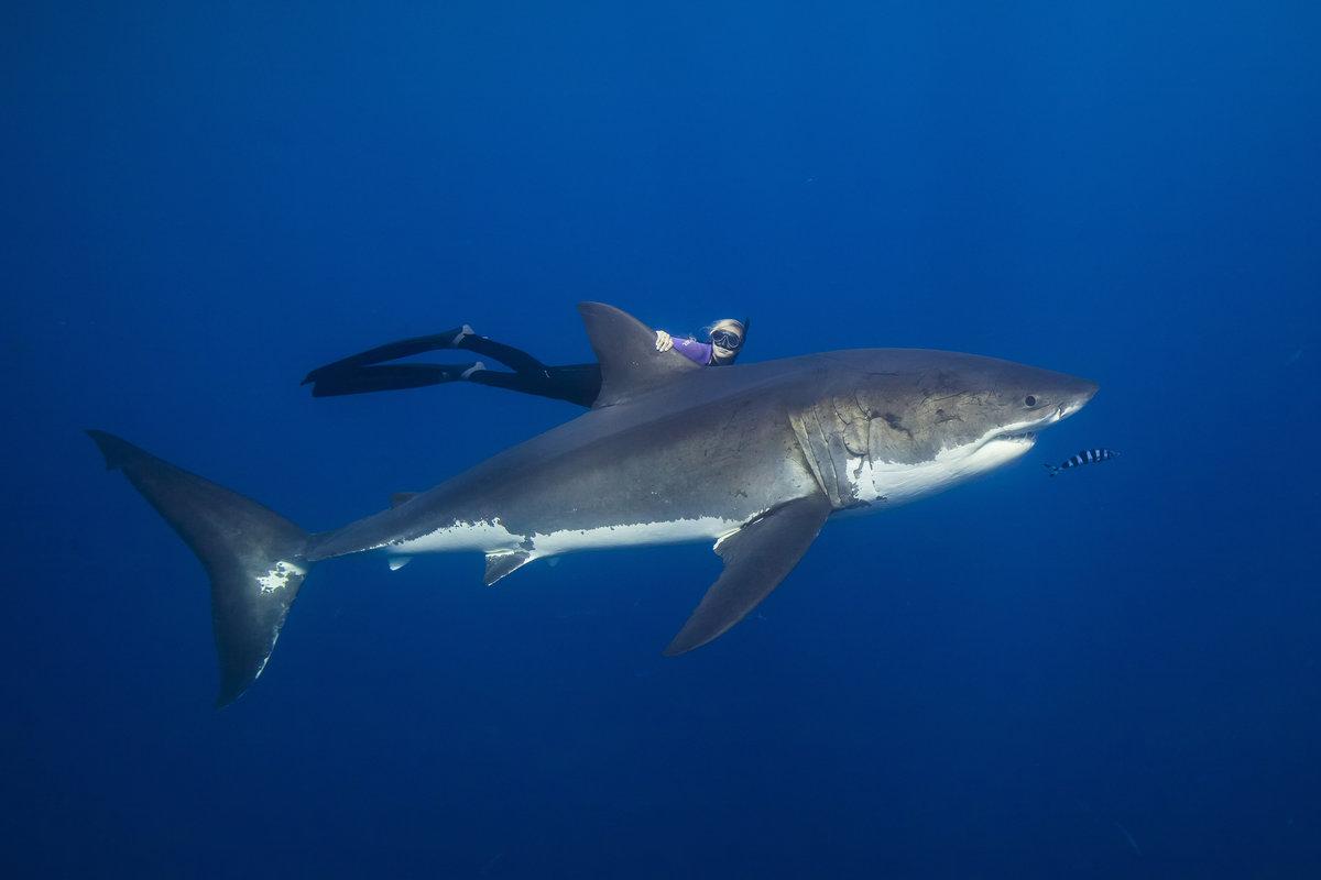 Оушън Рамзи плува с акули