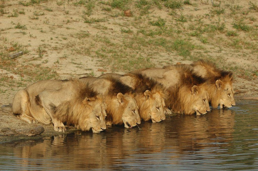 Лъвовете от Саби Санд