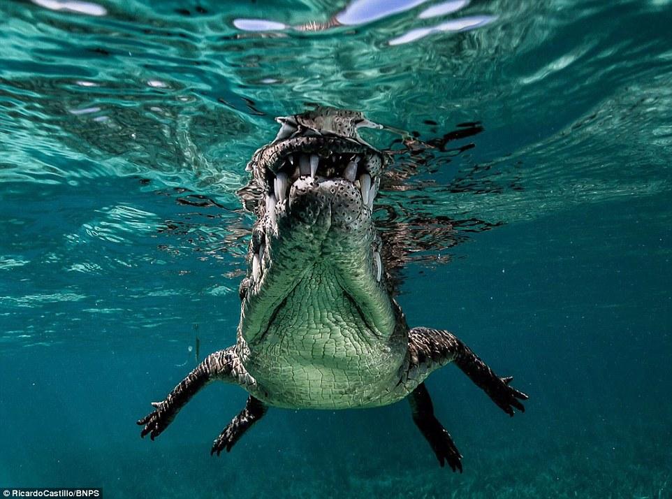 Гмуркане с крокодили