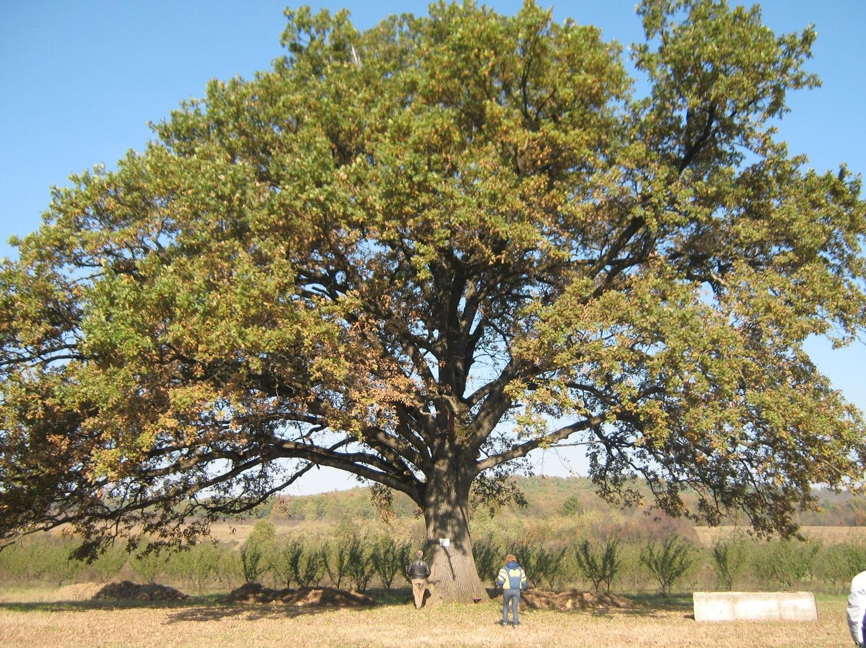 """Дъб в дунавския парк в Силистра е """"Дърво с корен 2015"""""""