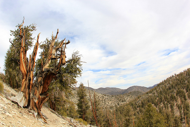 ancient-bristlecone-pine-forest