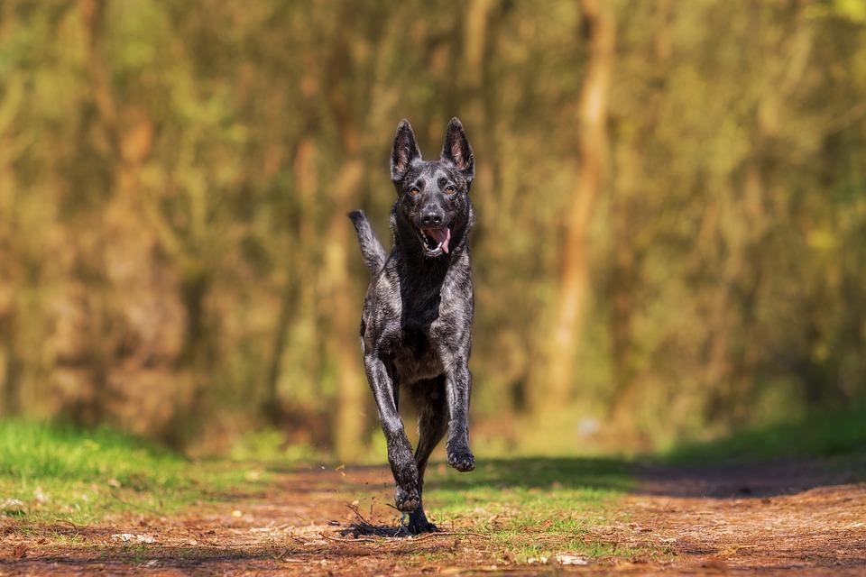 куче бегач