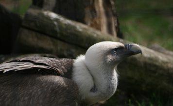 Белоглав лешояд