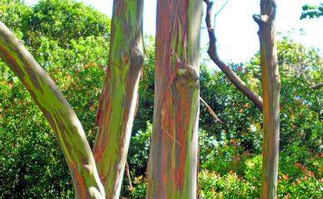 Дъгоцветен евкалипт