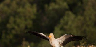 Миля за египетския лешояд