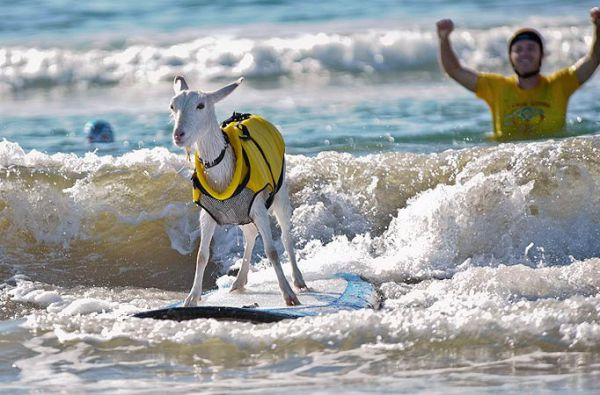 The surfing goats