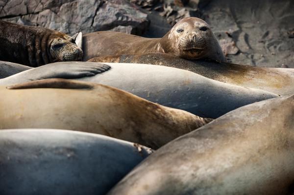 Морски слонове на припек