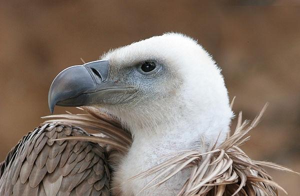 600px-Eagle_beak_sideview_A
