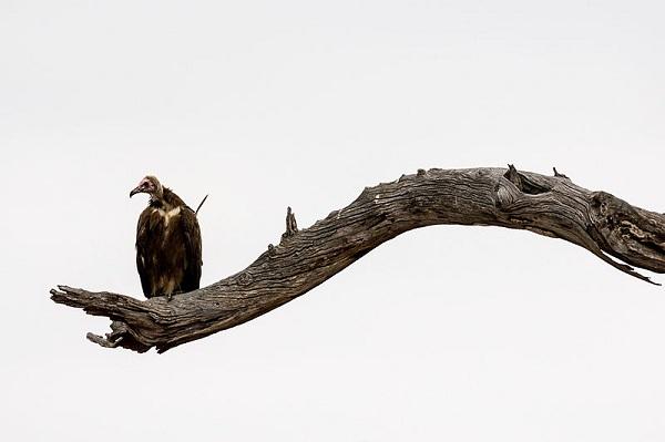 800px-African_Hooded_Vulture_(Necrosyrtes_monachus),_Kruger_National_Park