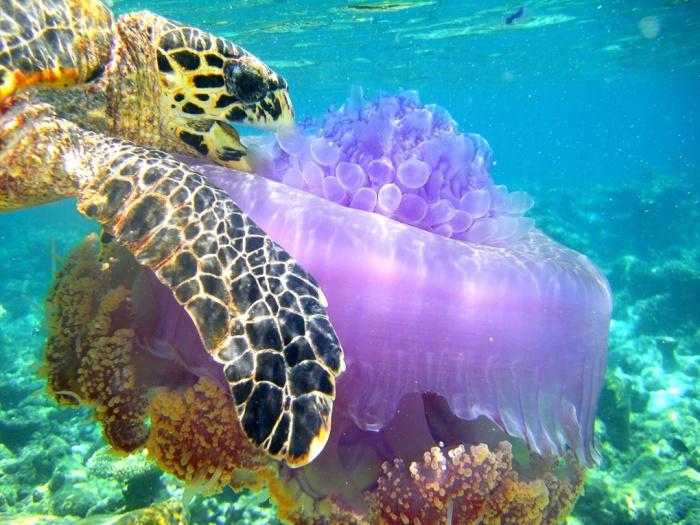 костенурка яде медуза