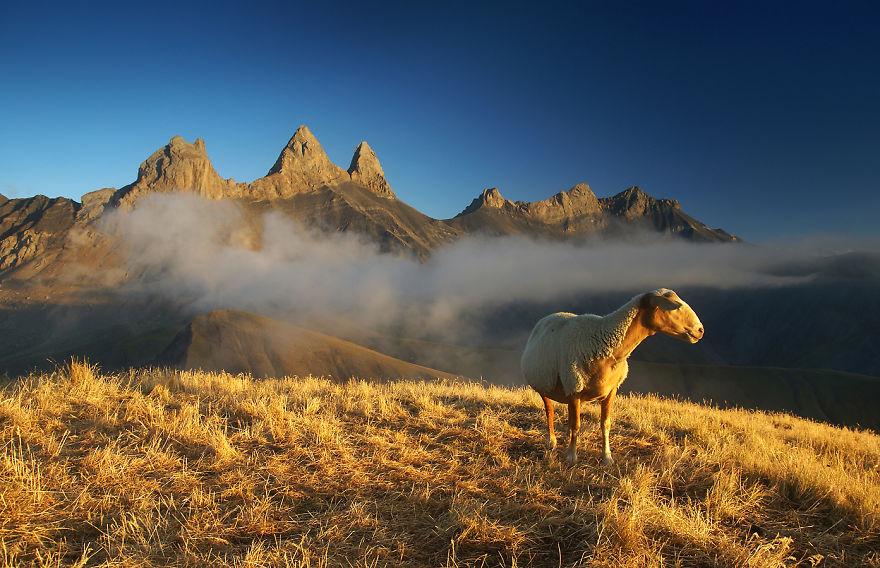 Овца, Алпи
