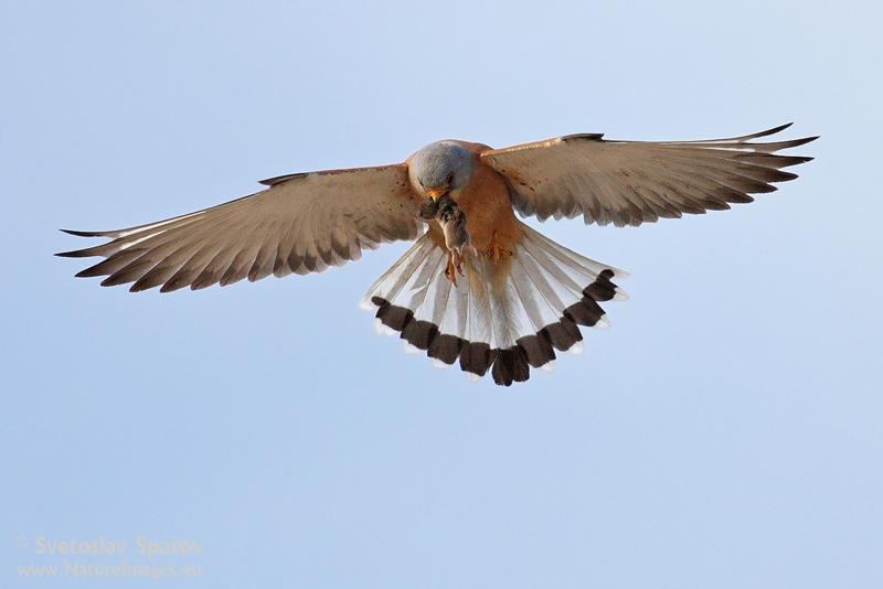 Снимка: natureimages.eu белошипа ветрушка