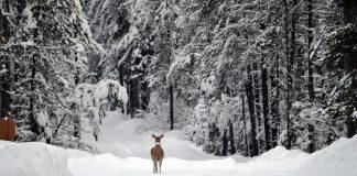 Сняг, кошута