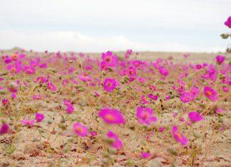 Цветя в пустинята