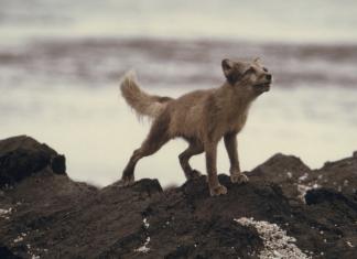 Полярна лисица