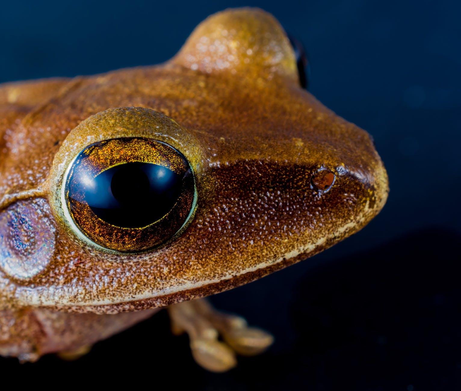 дървесна жаба