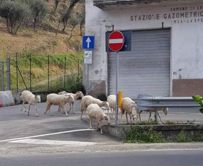 Избягало стадо овце из улиците на Италия; Кадър: bi-until-theday-idie