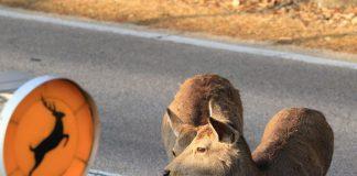 Разхождащи се елени из Нара, Япония ; Кадър: okadennis /