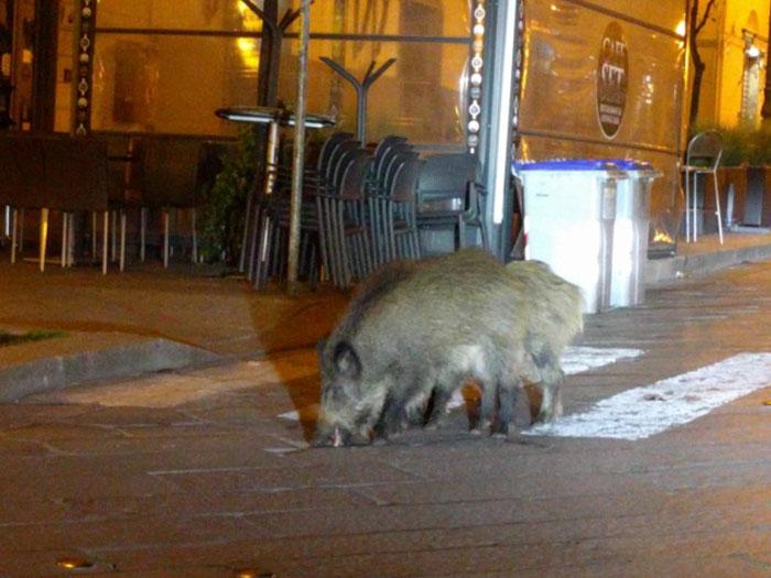 Диви прасета, в търсене на храна, Италия; Кадър: taylorswifh